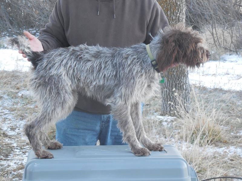 Shock Kennels - German Wirehaired Pointer Litters